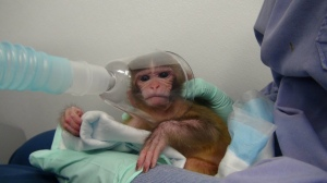 Baby-Monkey-Forced-to-Inhale-Drugs1