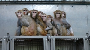 Monkeys-Huddle-Together-in-NIH-Lab1