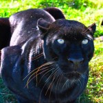 SpiritblackLeopard